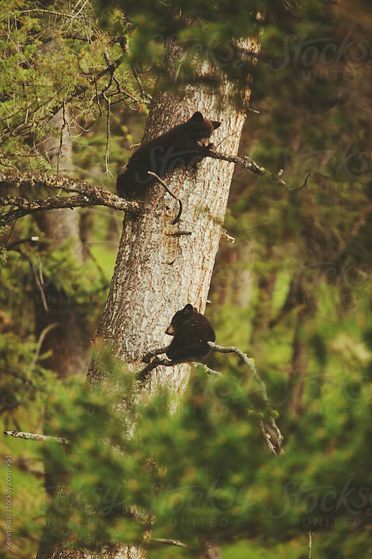 Black Bear Cub Climbers by Kevin Russ for Stocksy United