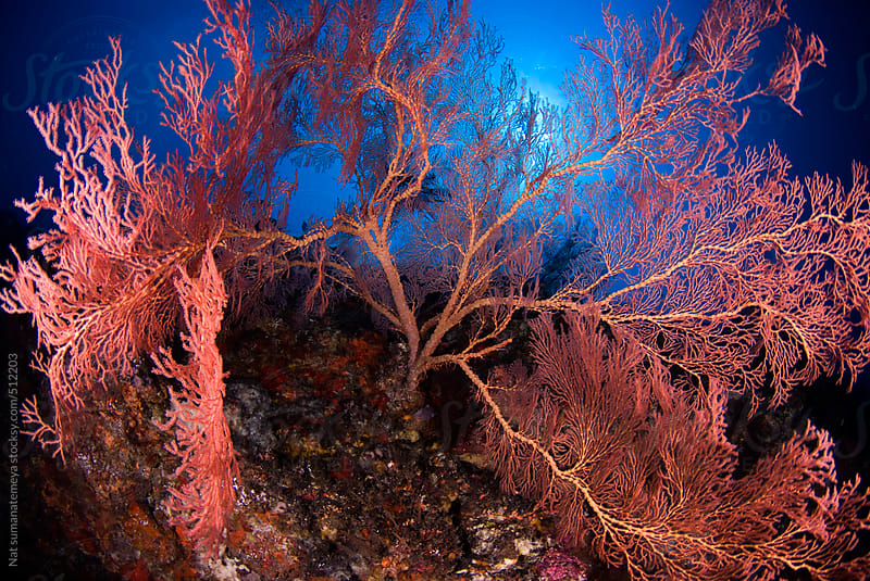 Bright red sea fan  by Nat sumanatemeya for Stocksy United