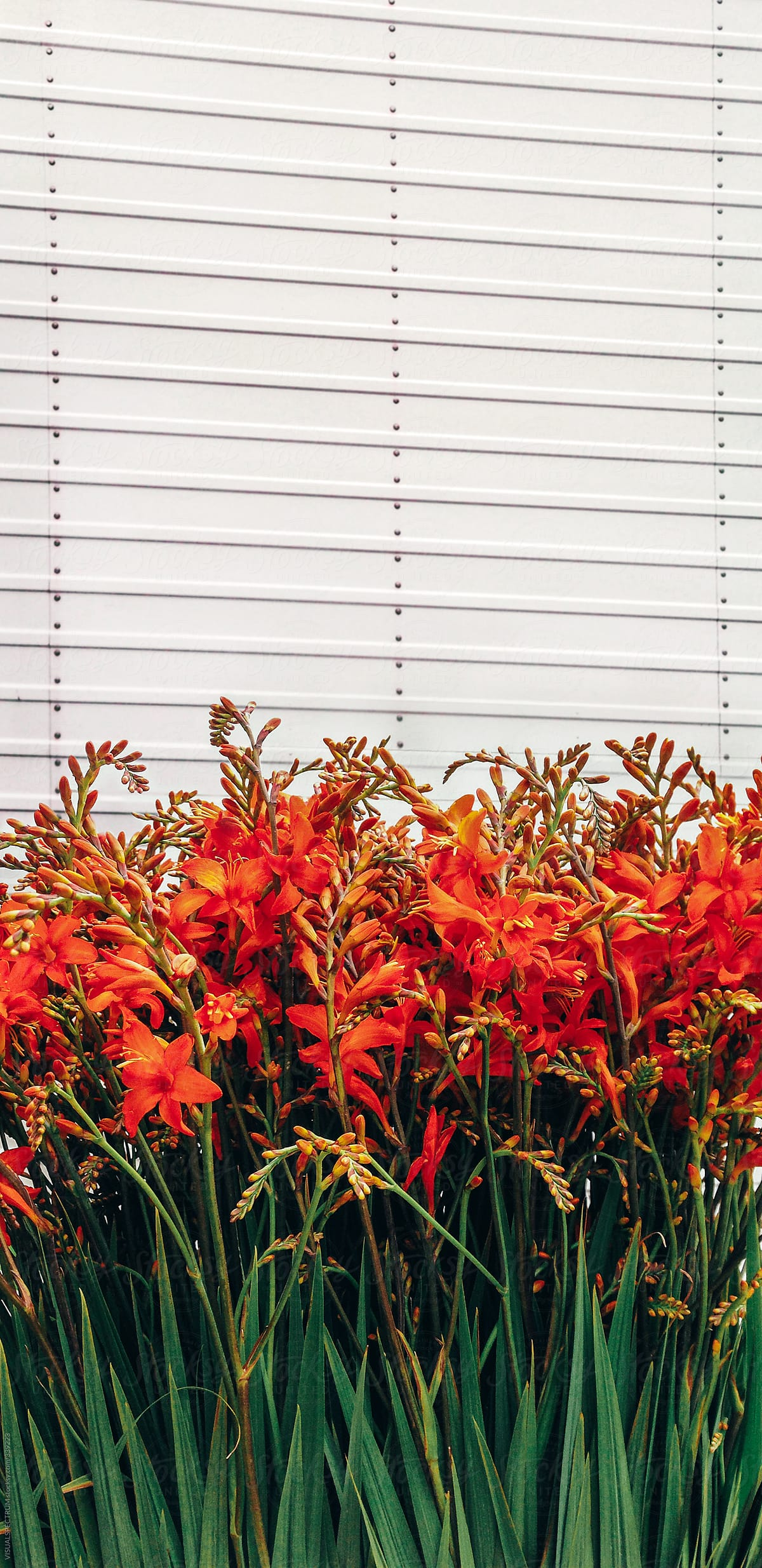 Red lily flowers stocksy united red lily flowers by visualspectrum for stocksy united izmirmasajfo