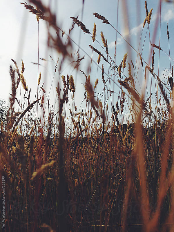 Grasses by Neil Warburton for Stocksy United