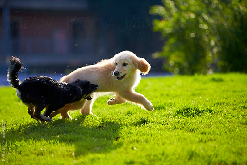 two dogs playing on lawn by Bo Bo for Stocksy United