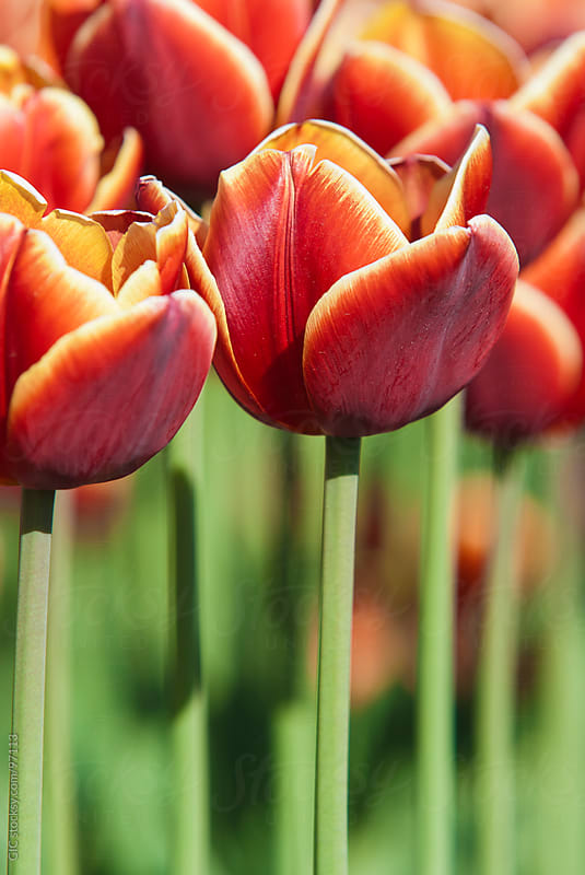 Dutch Red Tulips Close Up - Stock Image by GIC for Stocksy United