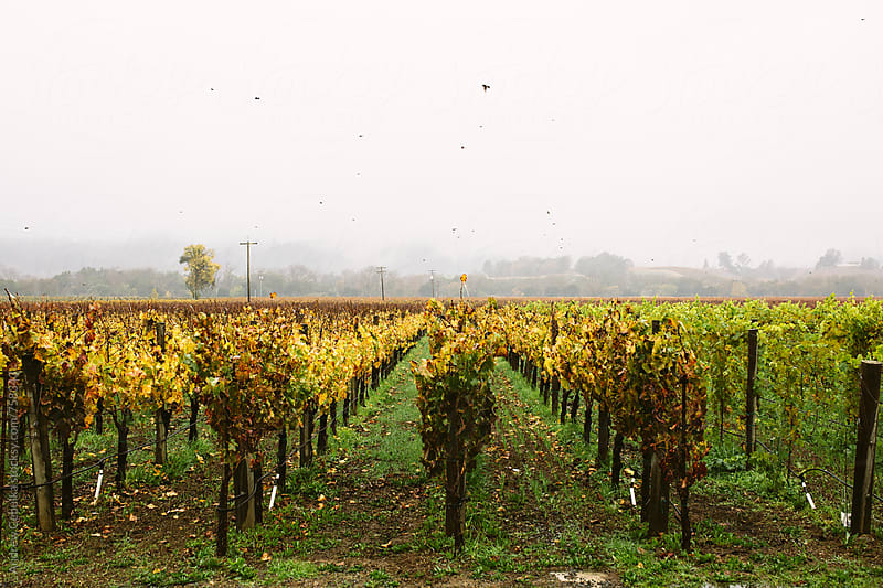 Vineyards - Digital File by Andrew Cebulka for Stocksy United
