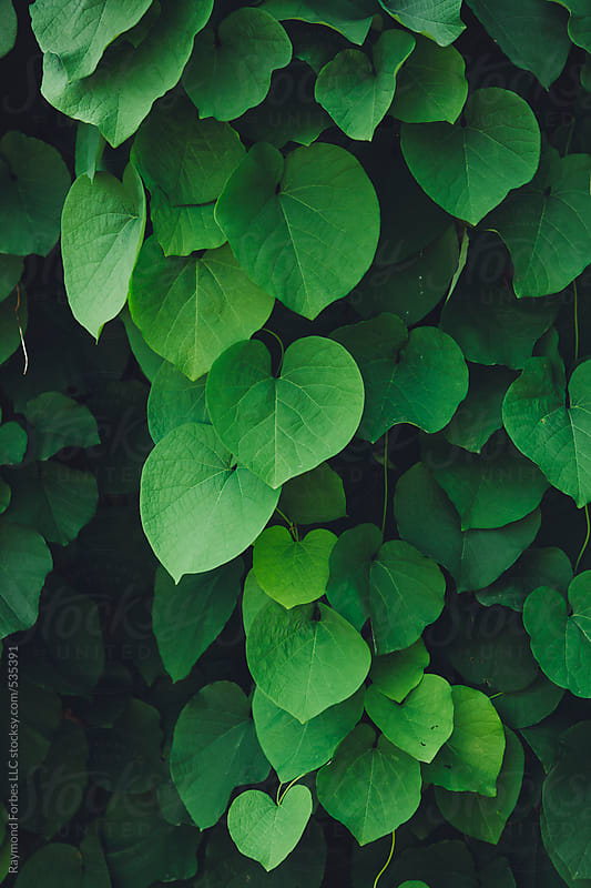 Heart Shaped Leaves by Raymond Forbes LLC for Stocksy United