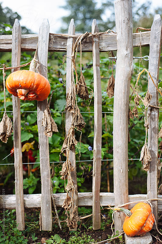 Pumpkins growing on a wooden fence by Suzi Marshall for Stocksy United