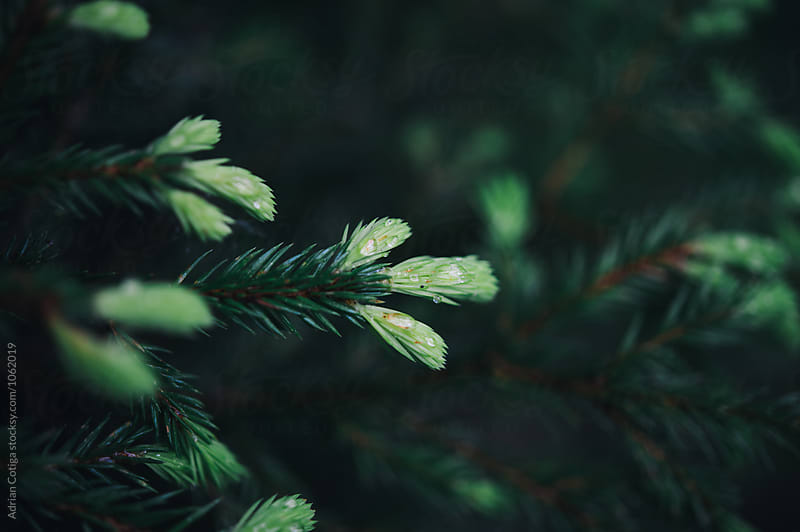 Pine branches by Adrian Cotiga for Stocksy United