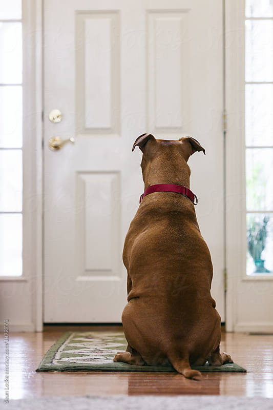 Lonely Dog Waits For Owner By Door by Sean Locke for Stocksy United