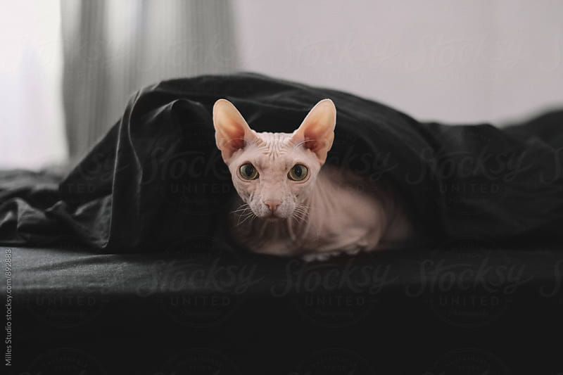 Cat in bed by Milles Studio for Stocksy United