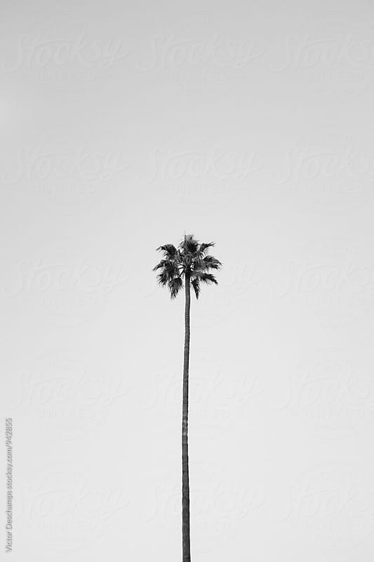 Los Angeles Palm Tree by Victor Deschamps for Stocksy United