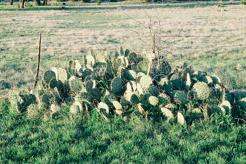 Cactus on roadside by Shannon Aston for Stocksy United