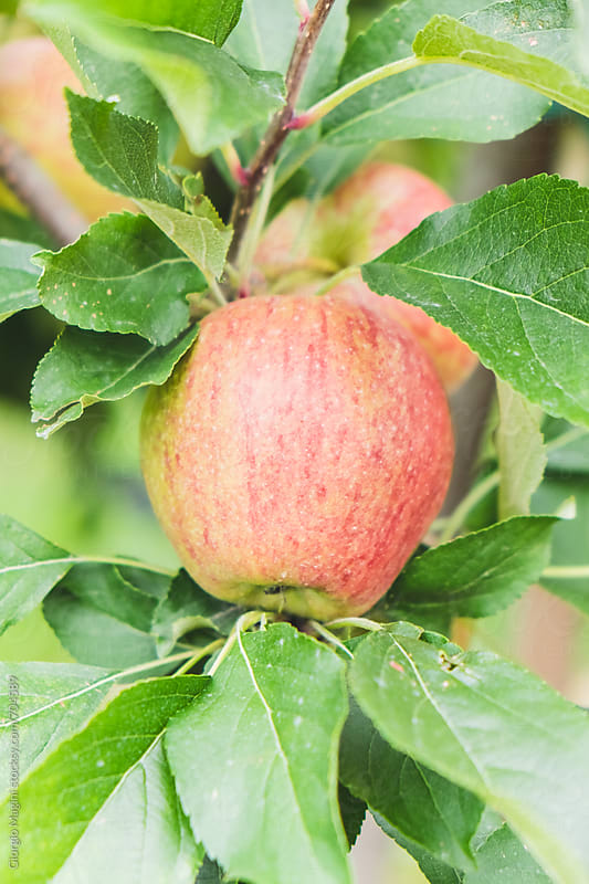 Apple Growing on Plant, Farm in North Italy by Giorgio Magini for Stocksy United