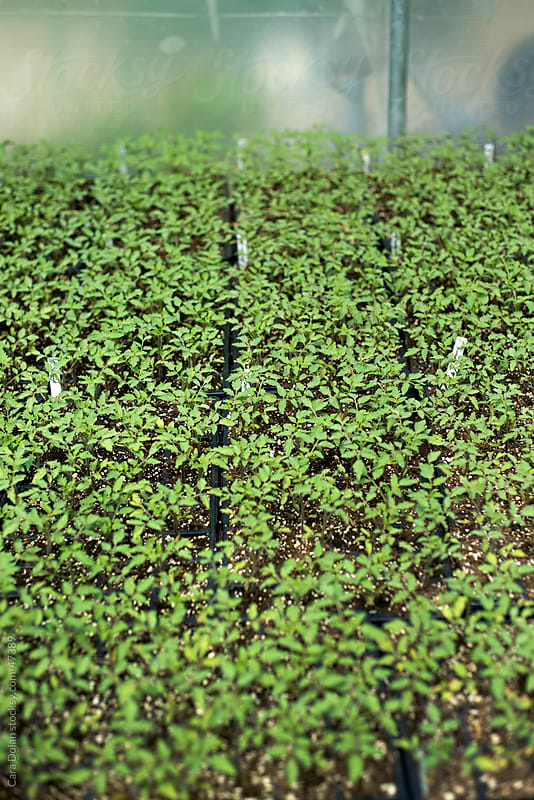 Trays filled with seedlings grow inside a greenhouse on a farm by Cara Dolan for Stocksy United