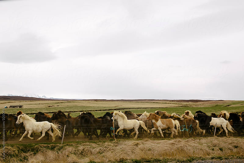 Horses Running Through Open Field In Iceland by Laura Austin for Stocksy United