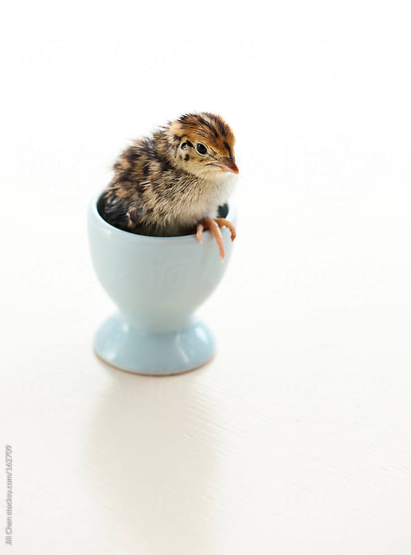 Baby Chick by Jill Chen for Stocksy United
