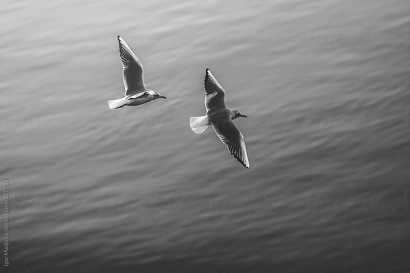 a couple of gulls over water by Igor Madjinca for Stocksy United