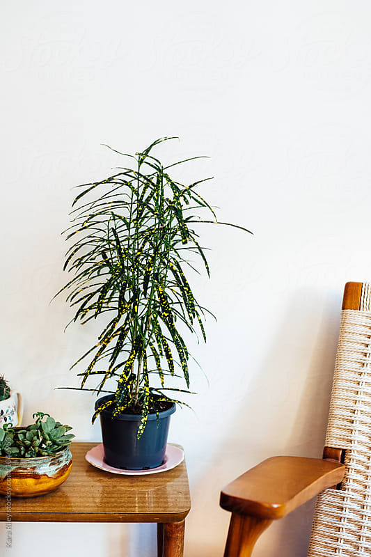 Croton Houseplant in Living Room by Kara Riley for Stocksy United