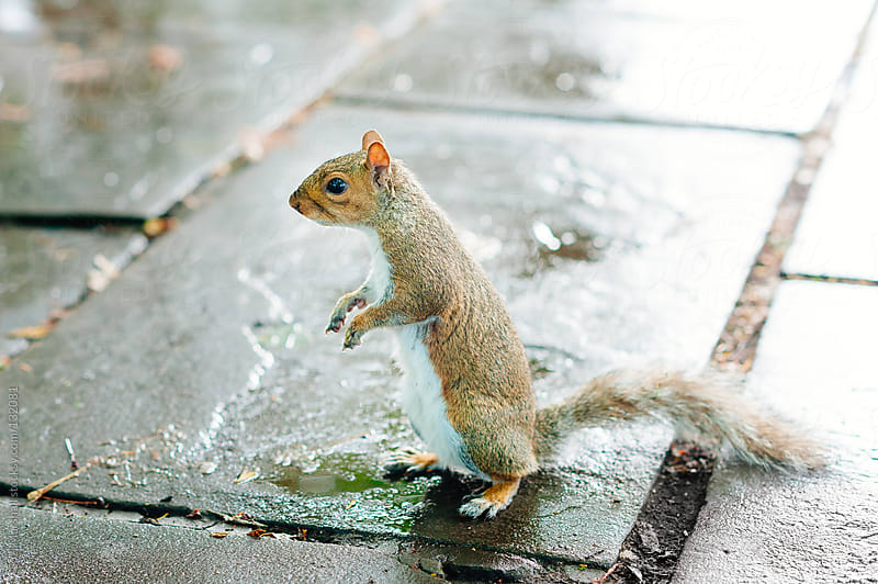 Squirrel standing on hind legs by Suzi Marshall for Stocksy United