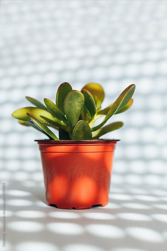 Jade plant in brown pot by Dimitrije Tanaskovic for Stocksy United