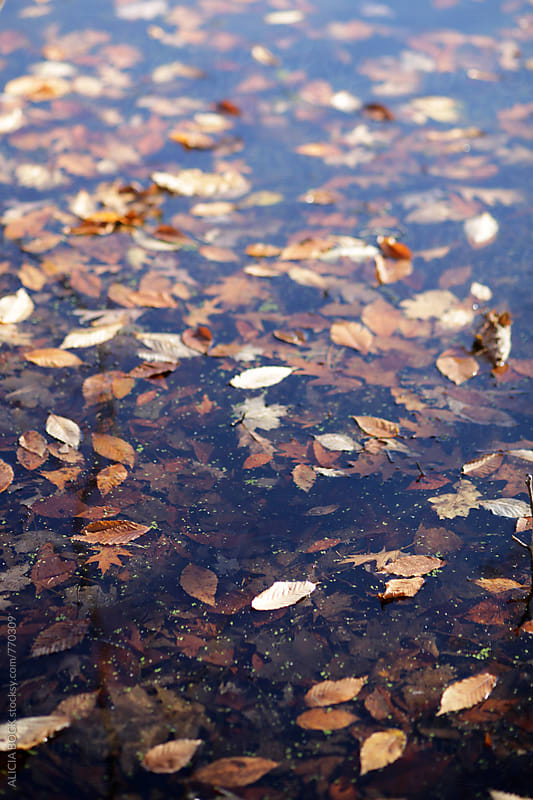 Brown and Orange Autumn Leaves Floating In A Swampy Pond by ALICIA BOCK for Stocksy United