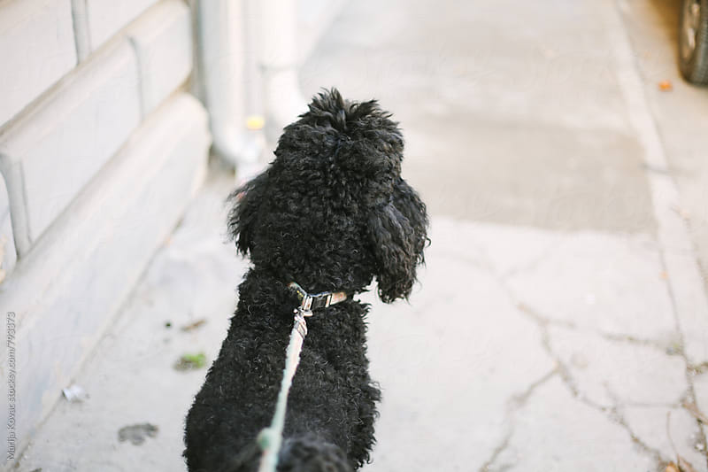 Black poodle from the back by Marija Kovac for Stocksy United
