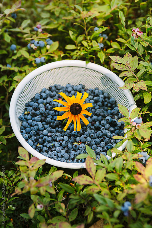 Bucket O' Berries by Raymond Forbes LLC for Stocksy United