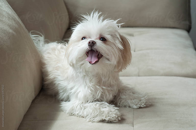 Happy little white dog sitting on a sofa by Amanda Large for Stocksy United
