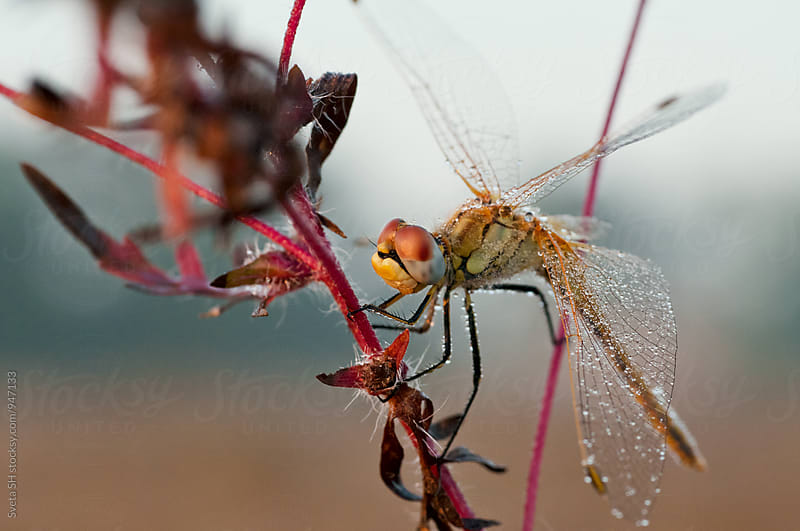 Dragonfly on a stalk of grass by Svetlana Shchemeleva for Stocksy United