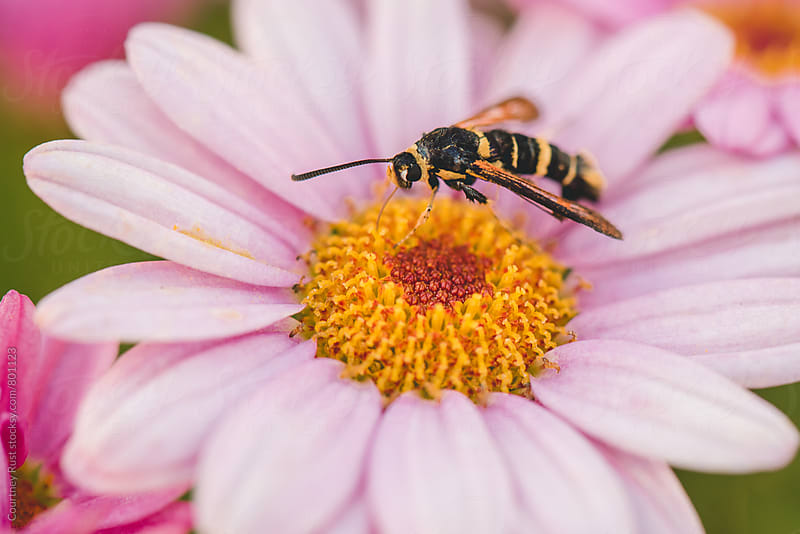 a wasp and a daisy by Courtney Rust for Stocksy United