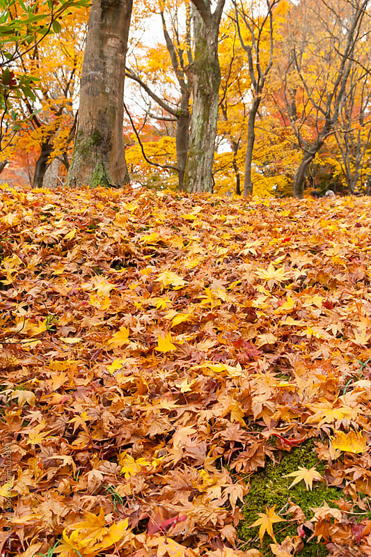 Autumn maple trees in forest with fallen leaves  by Lawren Lu for Stocksy United