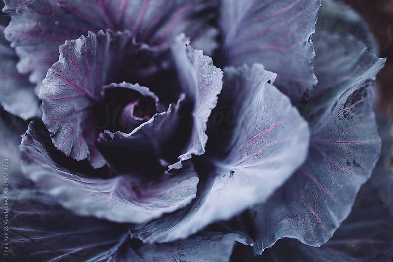 red cabbage by Thais Ramos Varela for Stocksy United