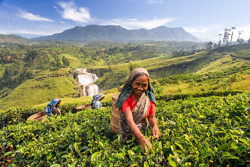 Sri Lanka, The Hill Country, Nuwara Eliya, Tea Plantation, woman picking tea by Gavin Hellier for Stocksy United