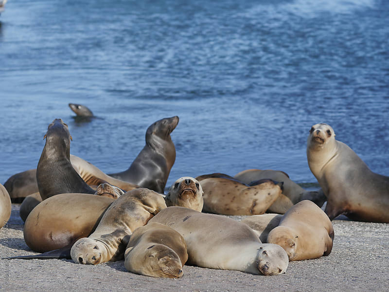 Group of seals lying on sandy coast by rolfo for Stocksy United