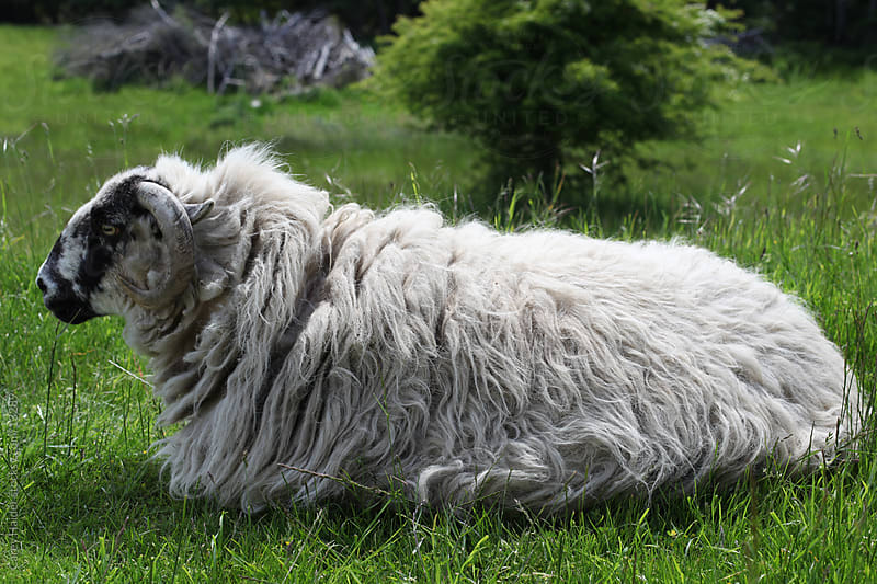 Male Sheep Laying Down by Carey Haider for Stocksy United
