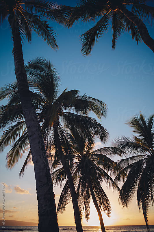 Sun setting through Hawaiian palm trees, on the island of Maui by Shelly Perry for Stocksy United