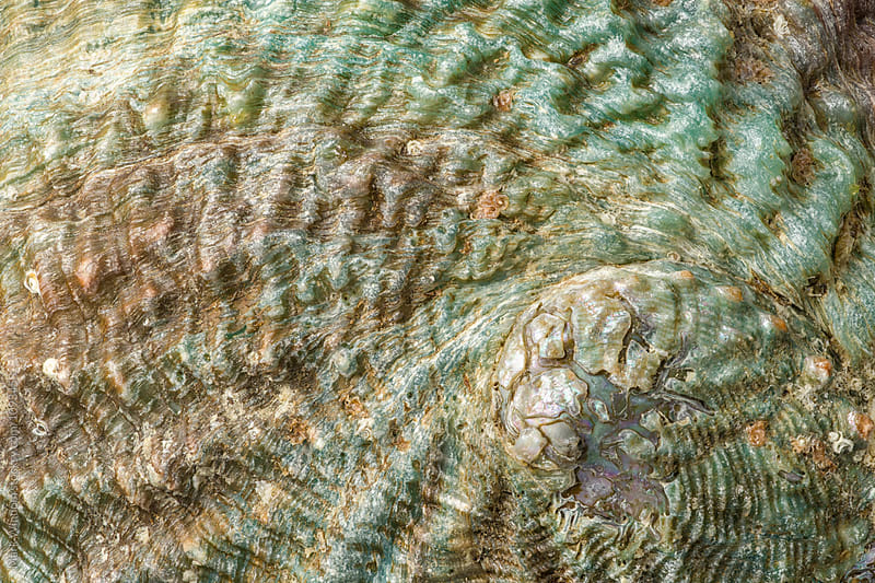 Pink Abalone shell, closeup by Mark Windom for Stocksy United