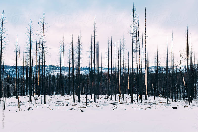 A previously burned area of a forest. by Lucas Saugen for Stocksy United