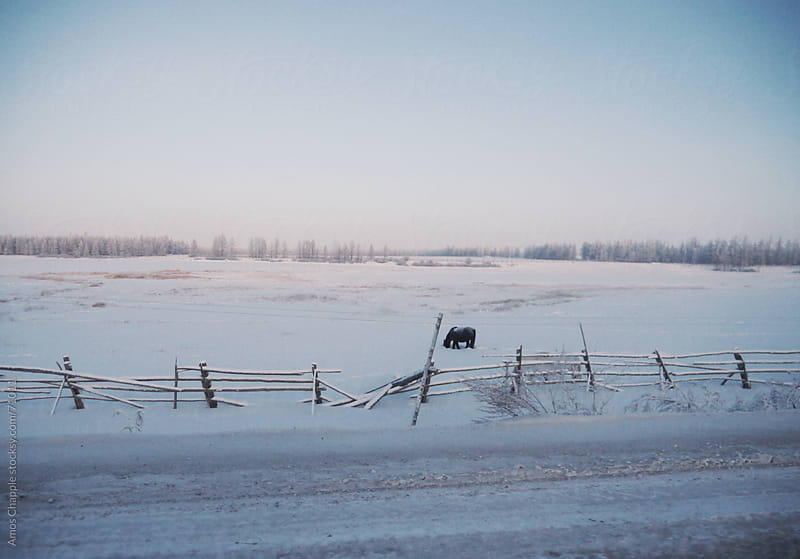 A horse grazing through snow in Siberia.  by Amos Chapple for Stocksy United