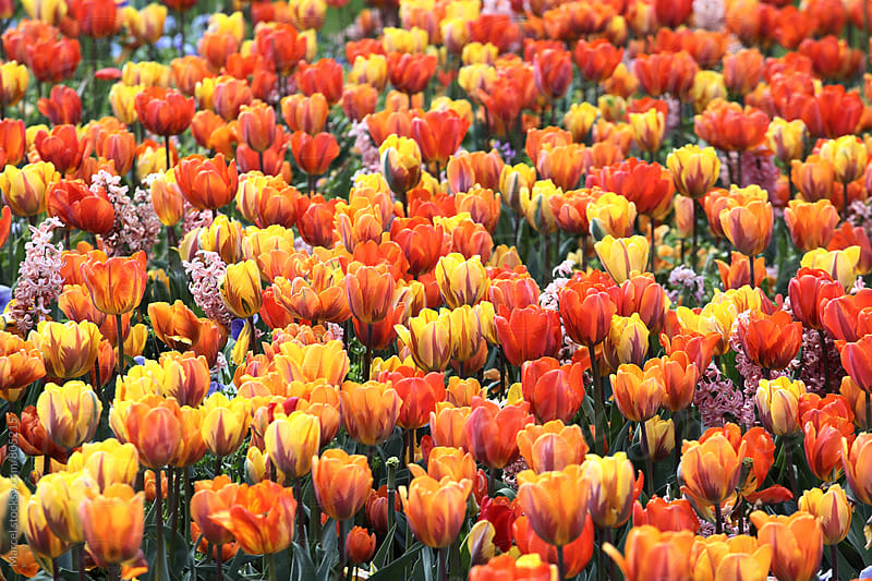 Bed of orange tulips in spring by Marcel for Stocksy United