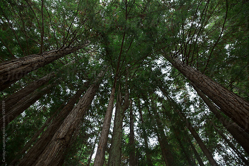 Looking upward at a grove of redwood trees by Carolyn Lagattuta for Stocksy United