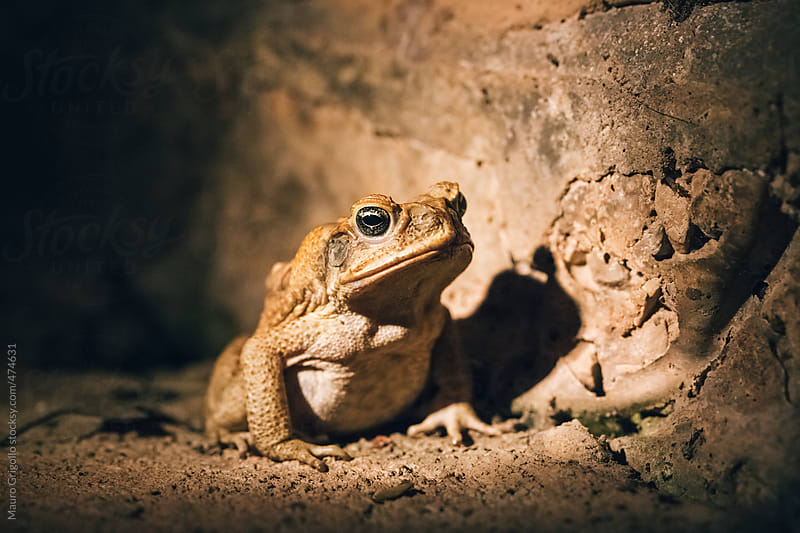 Dangerous toad in Australia by Mauro Grigollo for Stocksy United