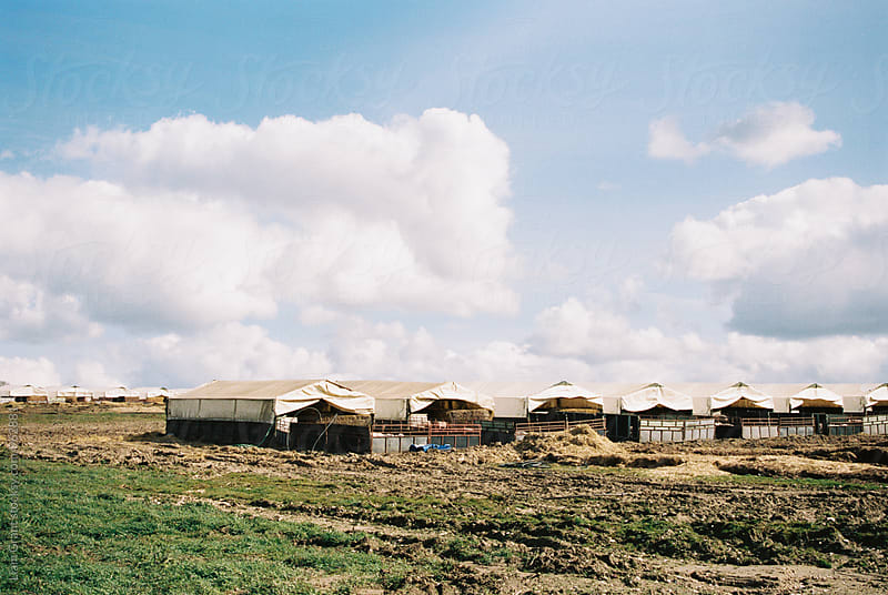 Pig farm and shelters. Norfolk, UK. by Liam Grant for Stocksy United
