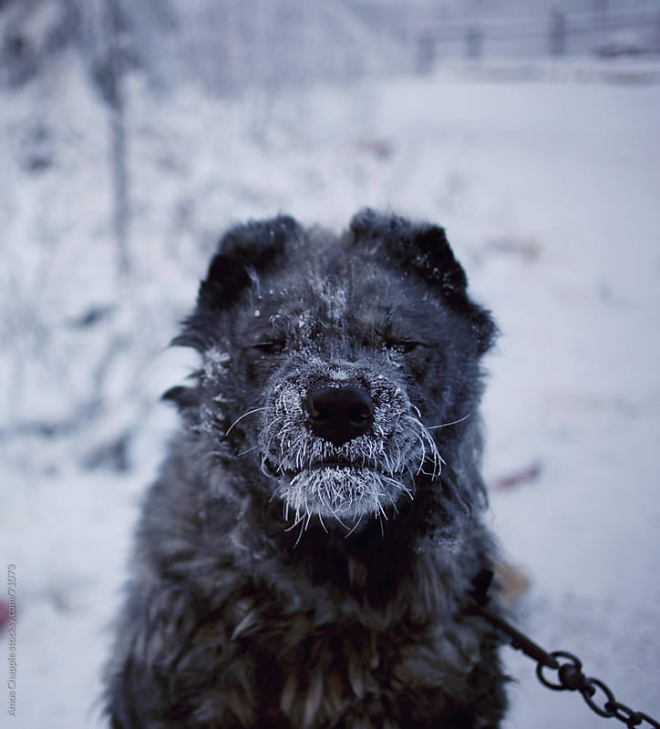 Guard dog in a Siberian winter.  by Amos Chapple for Stocksy United