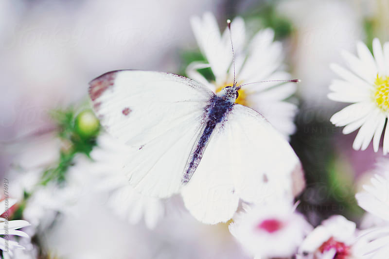 White cabbage butterfly (Pieris rapae) and white Aster flowers in bloom by Laura Stolfi for Stocksy United