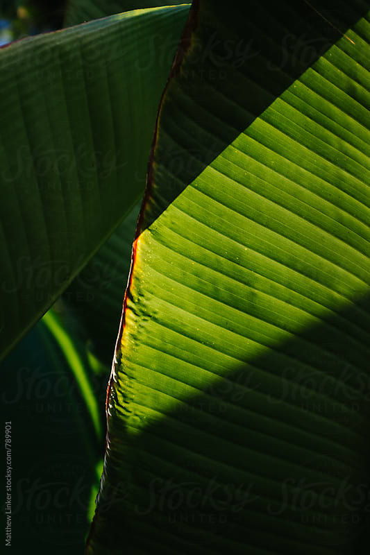 Sunset over green leafs  by Matthew Linker for Stocksy United