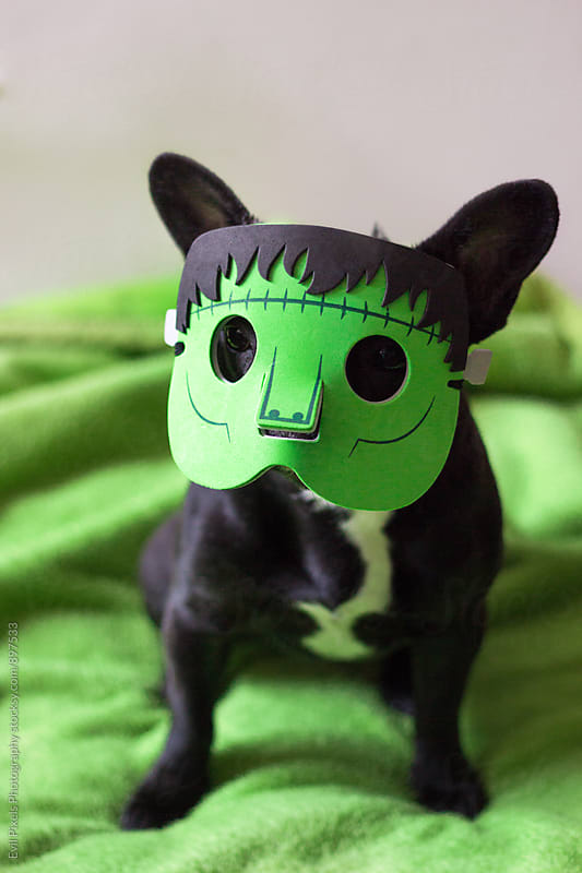 Little french bulldog with frankenstein halloween mask by Branislava Živić for Stocksy United