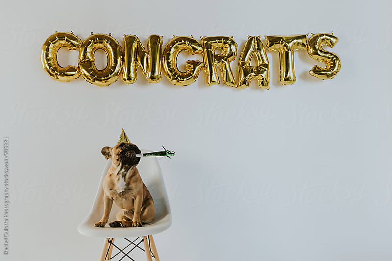 Gold Congrats Balloon Letters and a French Bulldog Puppy Wearing a Party Hat by Rachel Gulotta Photography for Stocksy United