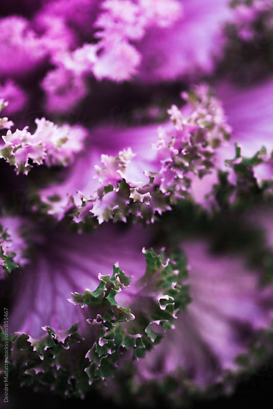 purple kale leaves, showing frilly edges by Deirdre Malfatto for Stocksy United