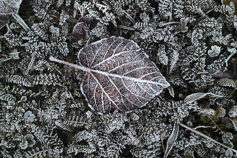 Leaf and grass with frost by Jovana Rikalo for Stocksy United