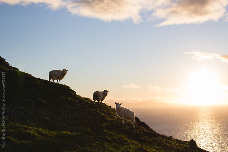 Sheep wandering around the New Zealand wilderness by Maximilian Guy McNair MacEwan for Stocksy United