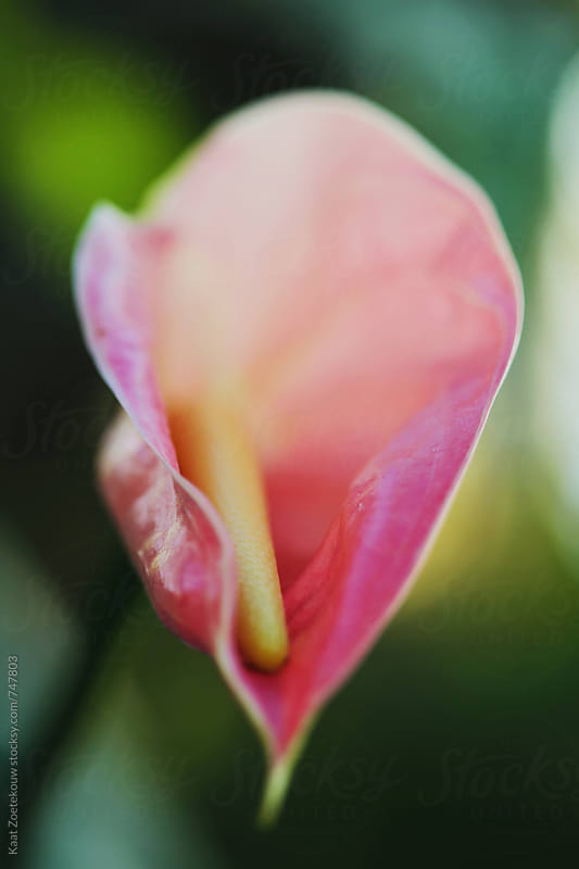 Anthurium at Oslo Botonical Garden by Kaat Zoetekouw for Stocksy United